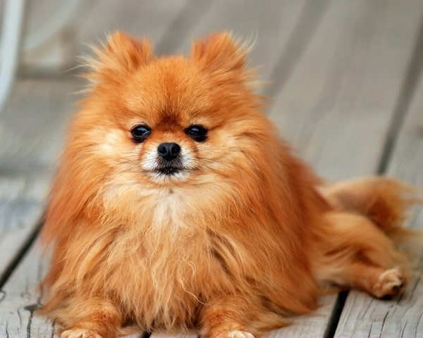 cute and small dog breeds around the world1