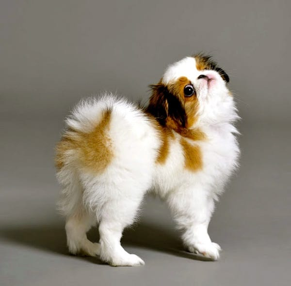 cute and small dog breeds around the world10