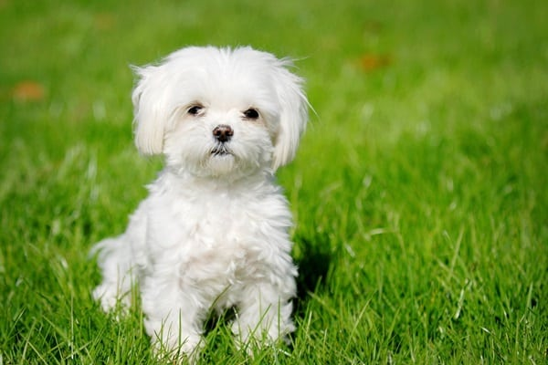 cute and small dog breeds around the world12