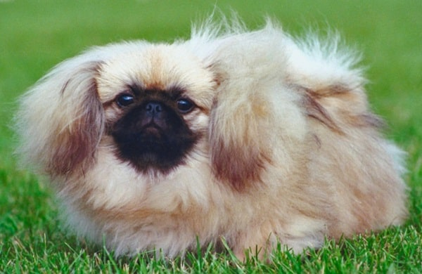 cute and small dog breeds around the world13