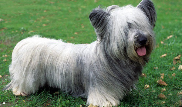 cute and small dog breeds around the world14