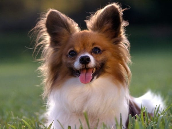 Popular Cutest Brown Adorable Dog - cute-and-small-dog-breeds-around-the-world2  Perfect Image Reference_13996  .jpg