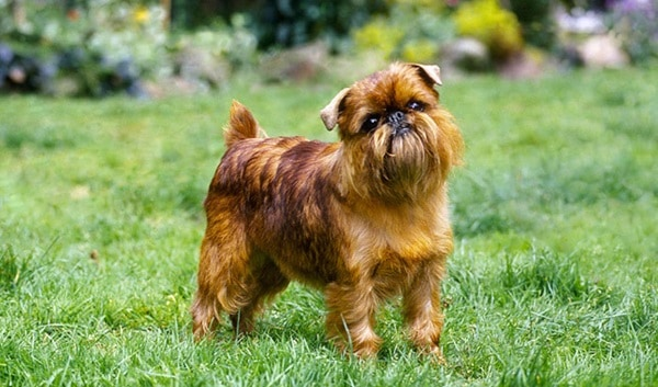 cute and small dog breeds around the world4
