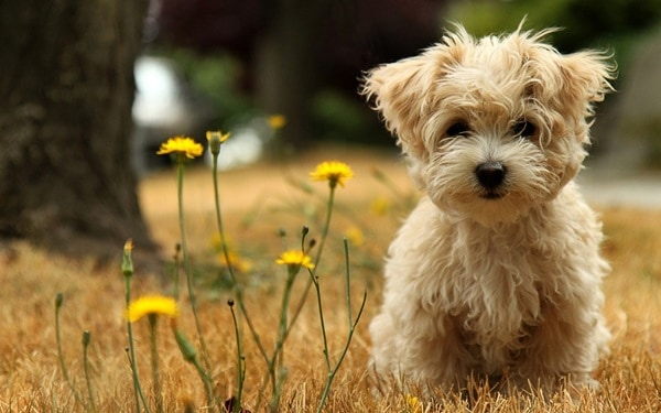 cute and small dog breeds around the world7