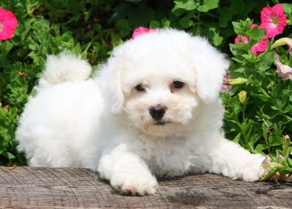 cute and small dog breeds around the world8