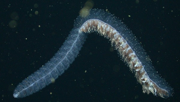 deep sea creatures you have never heard of4