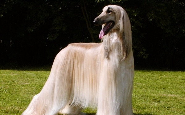 11 Famous Long Haired Dog Breeds Around the World