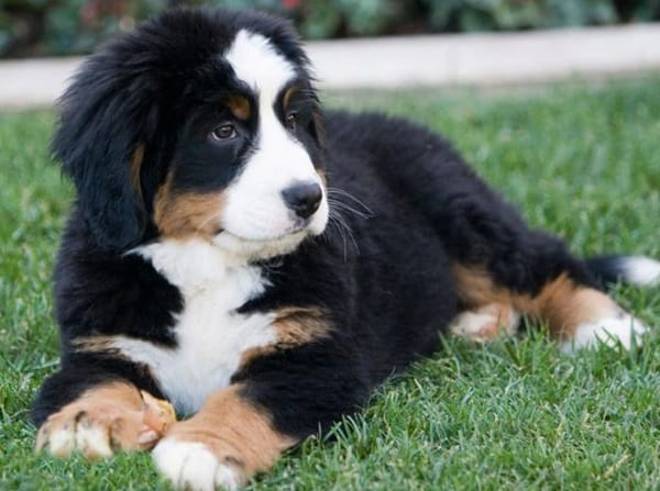 long haired dog breeds10