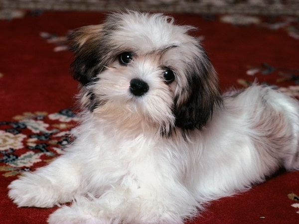 long haired dog breeds6