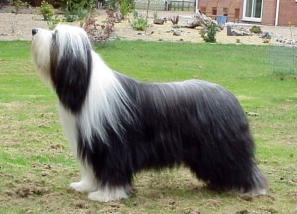 13 Famous Long Haired Dog Breeds Around The World