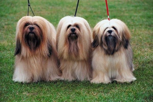 long haired dog breeds8