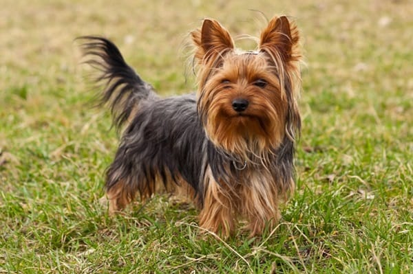 long haired dog breeds9