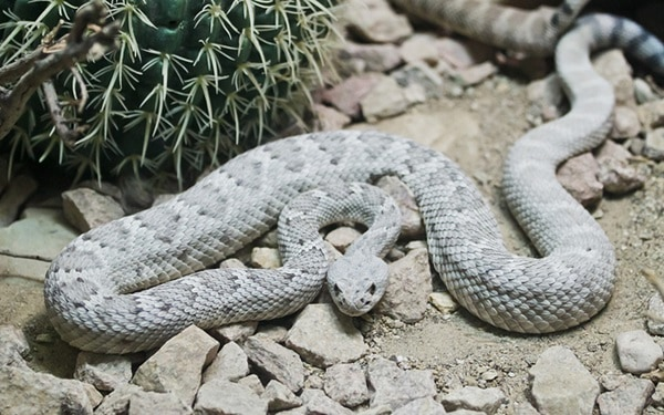 rarest snakes in the world9