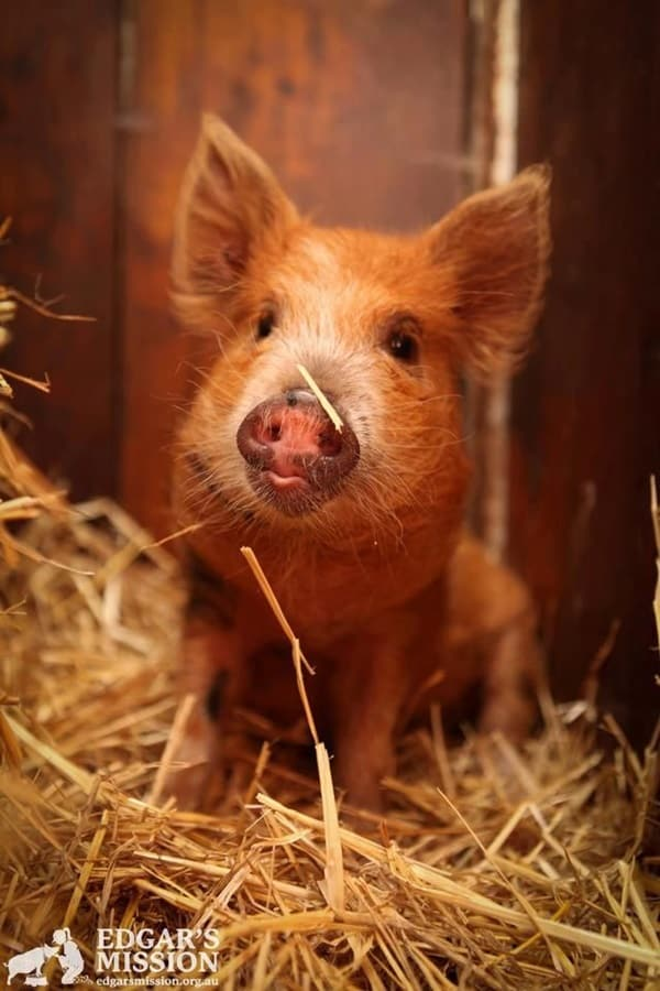 Cute Pig Pictures    (10)