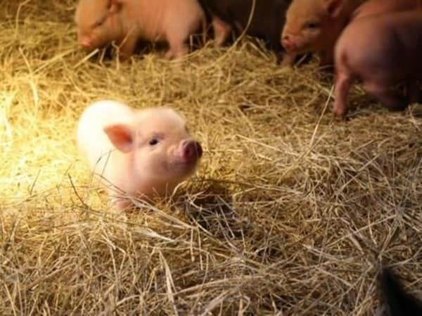Cute Pig Pictures    (12)