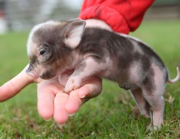 Cute Pig Pictures    (14)