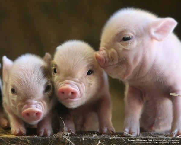 Cute Pig Pictures    (15)