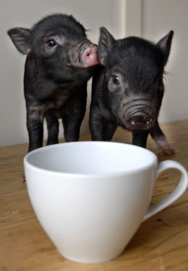 Cute Pig Pictures    (2)