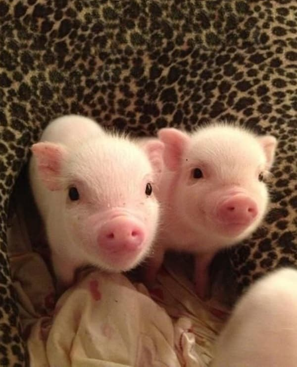 Cute Pig Pictures    (22)