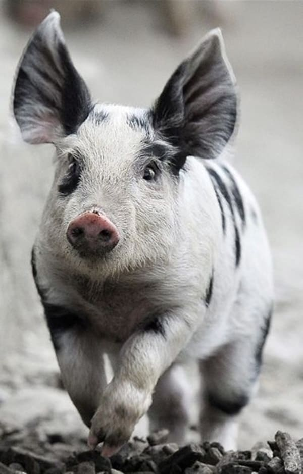 30 Cute Pig Pictures