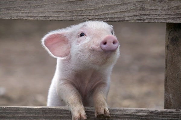 Cute Pig Pictures    (28)