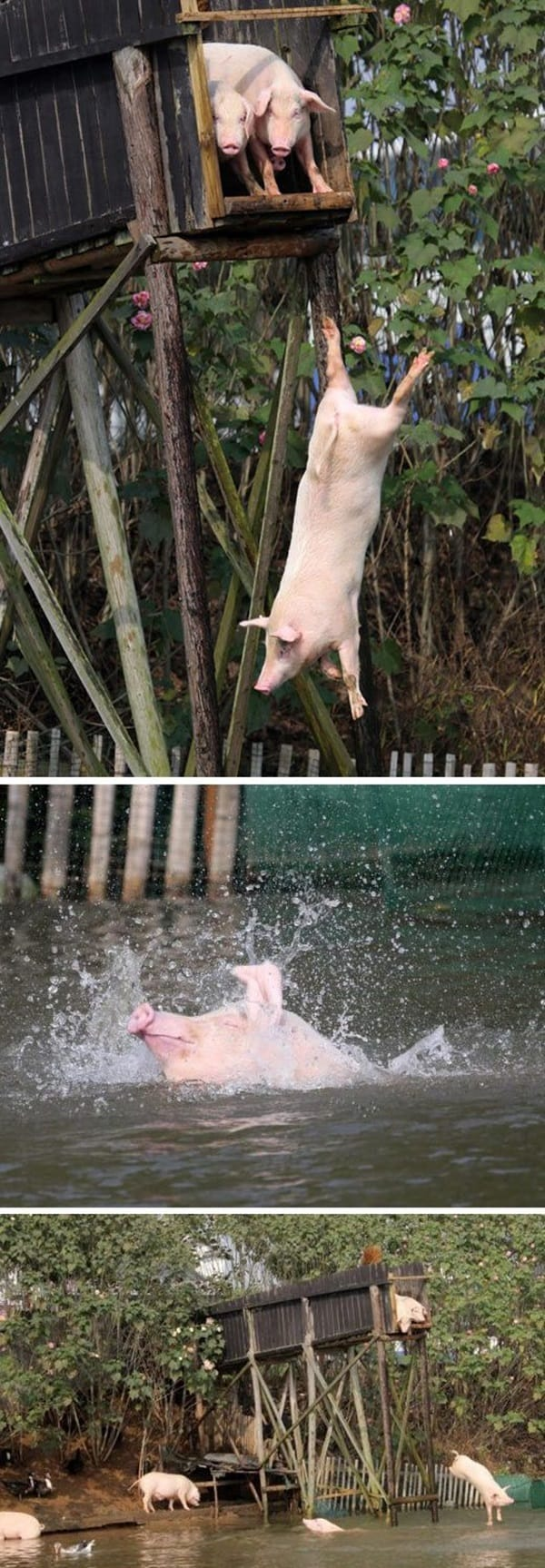 Cute Pig Pictures    (4)