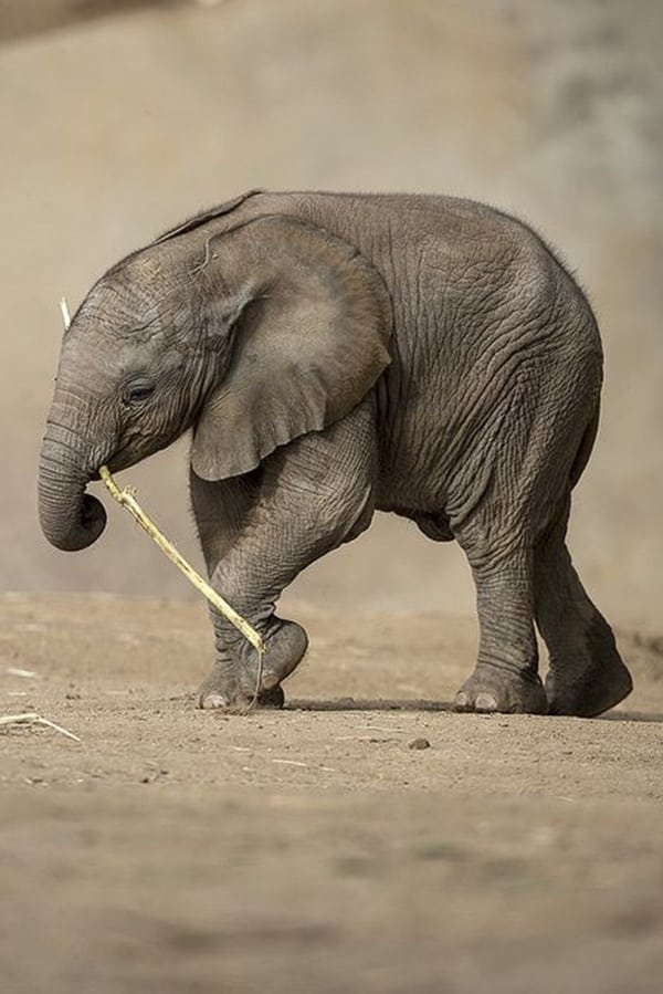 Beautiful Baby Elephant Pictures (18)