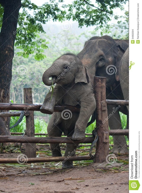 http://www.dreamstime.com/stock-images-funny-baby-thai-elephant-thailand-image34902594