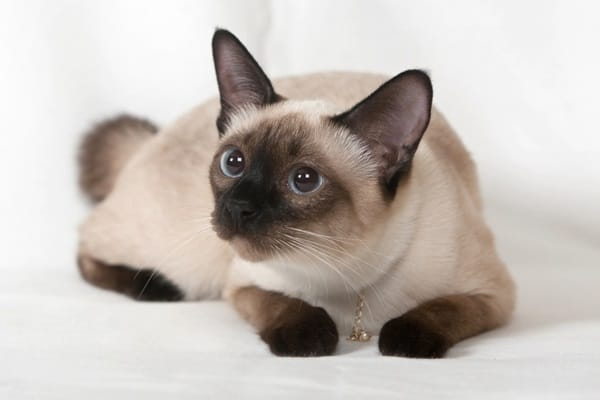 10 Best Cat Breeds in the World1