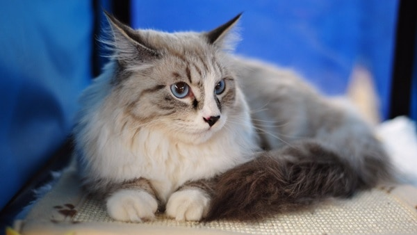 10 Best Cat Breeds in the World4