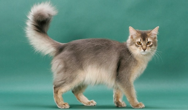 10 Best Cat Breeds in the World6