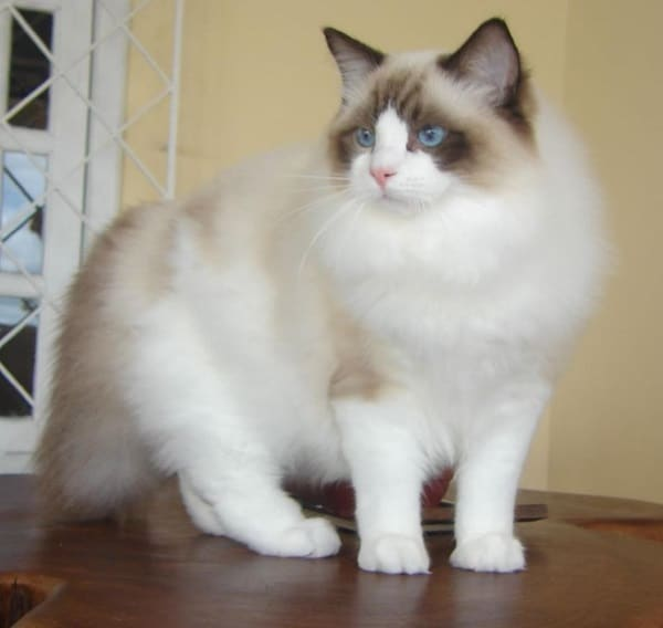 10 Best Cat Breeds in the World7
