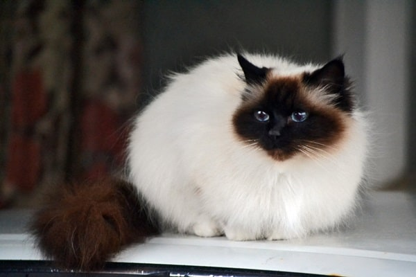 10 Best Cat Breeds in the World9