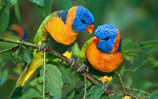 12 Fun Facts about Love Birds1