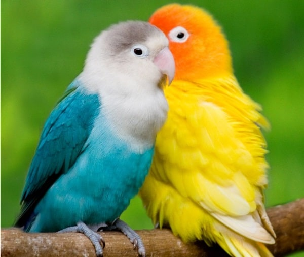 12 Fun Facts about Love Birds2