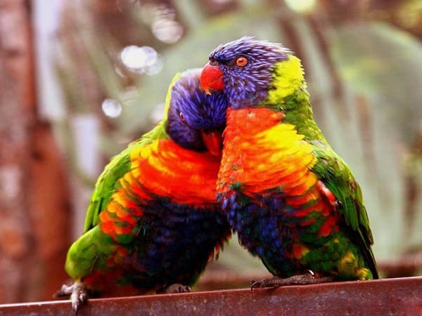 12 Fun Facts about Love Birds4