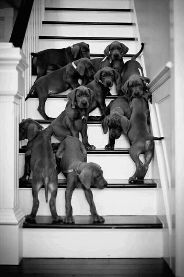 Amazing Pictures Of Great Dane (1)