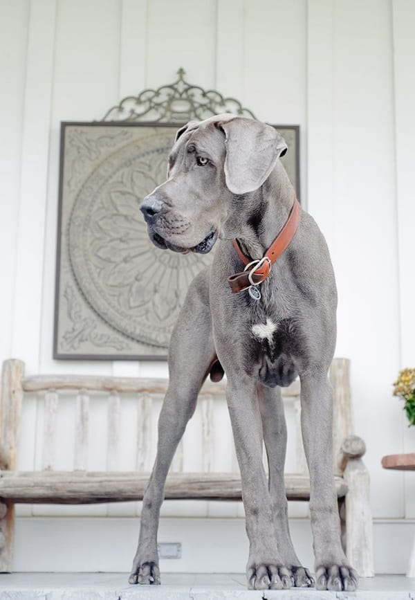 Amazing Pictures Of Great Dane (13)