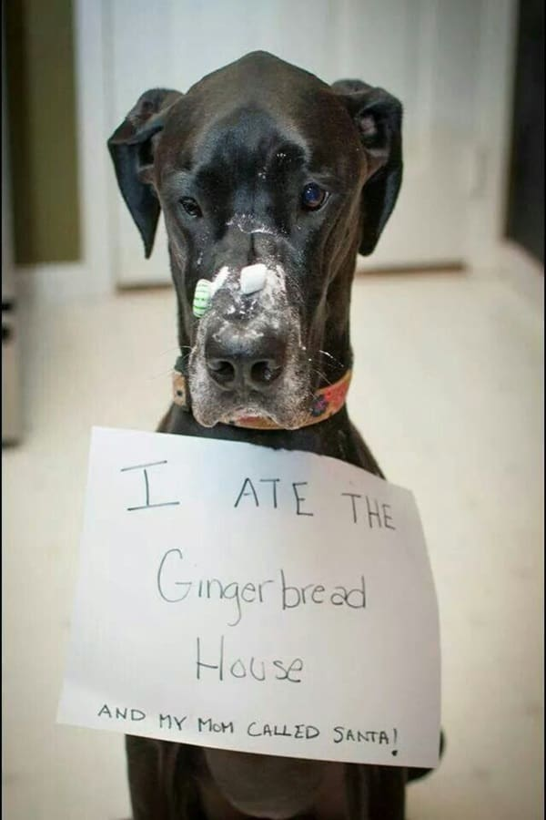 Amazing Pictures Of Great Dane (15)