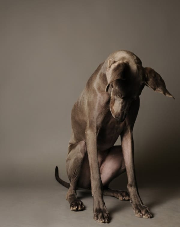 Amazing Pictures Of Great Dane (23)