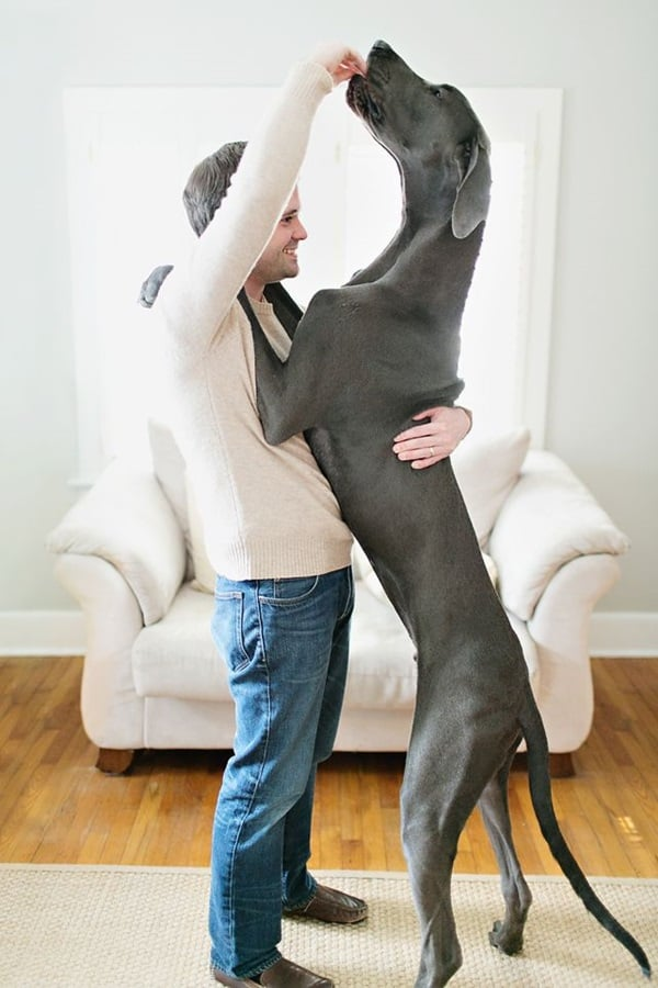 Amazing Pictures Of Great Dane (3)