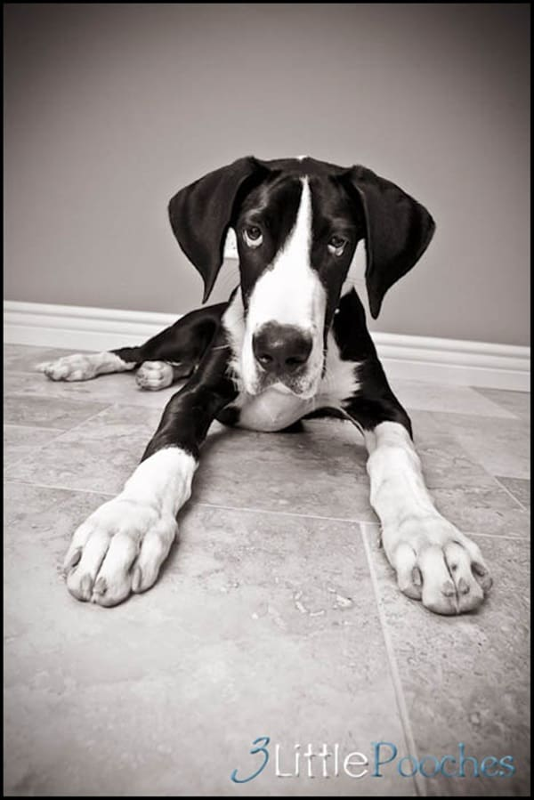 Amazing Pictures Of Great Dane (34)