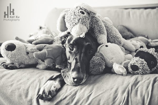 Amazing Pictures Of Great Dane (36)