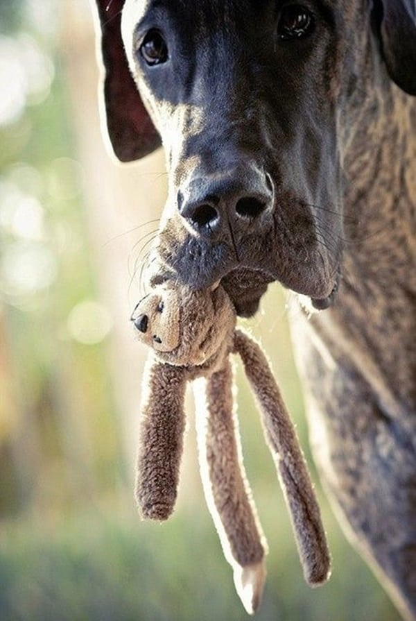 Amazing Pictures Of Great Dane (4)