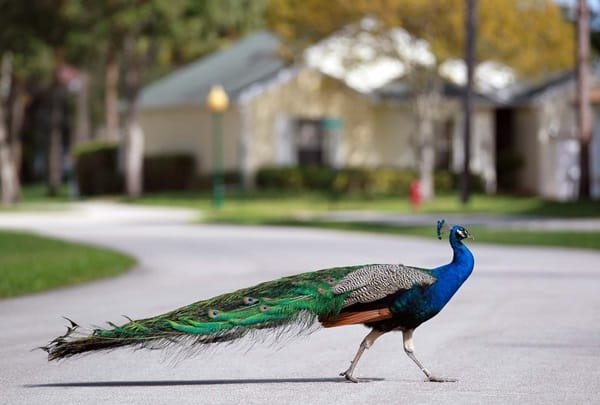 A peacock crosses Manor Forest Blvd.