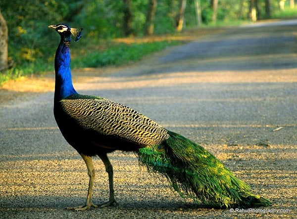 Beautiful Peacock Pictures (19)