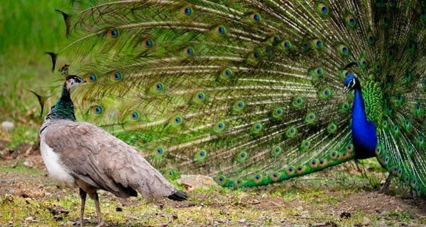 Beautiful Peacock Pictures (27)