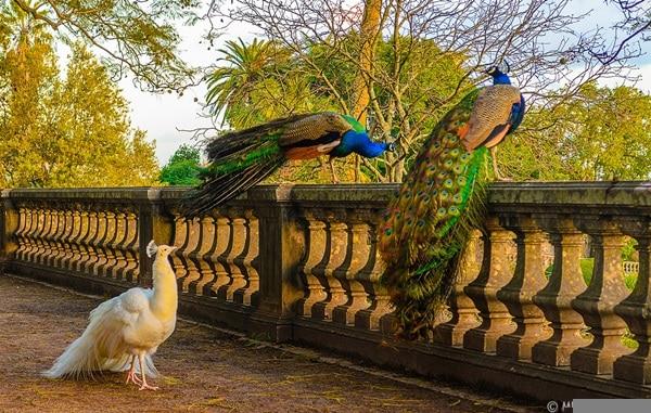 Original Peacock Fine Art Photography 2 By Messagez.com