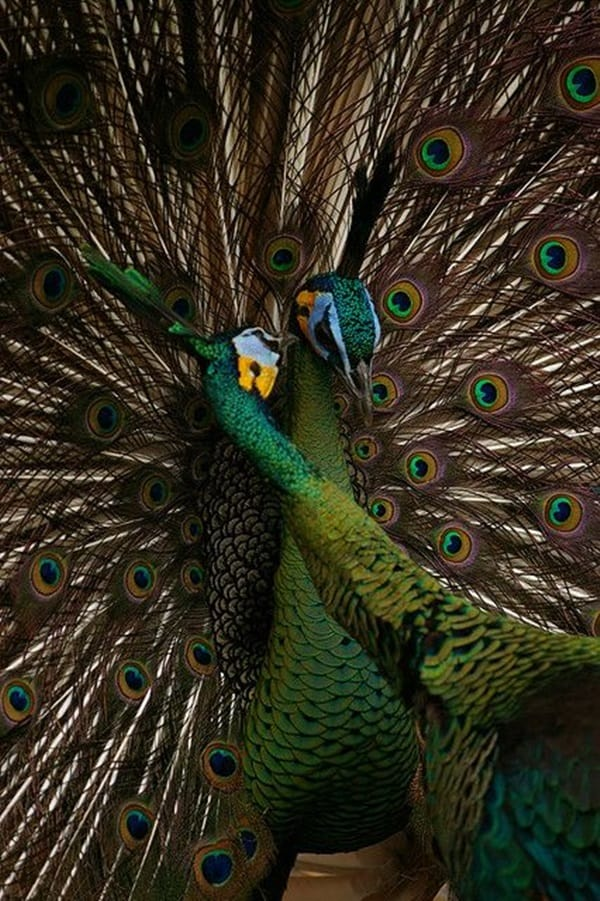Beautiful Peacock Pictures (3)