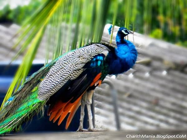 Beautiful Peacock Pictures (30)